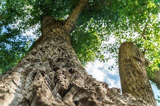 Oak, Bark, Leaves, Tree, Nature, Old Oak, Tribe