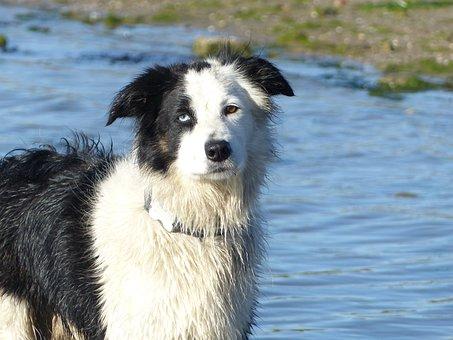 Border Collie, Black And White, Black, White, Dog