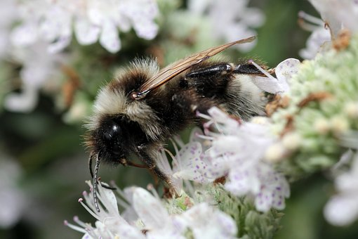 Bee, White, Hairy, Flower, Pollination, Blossom, Bloom