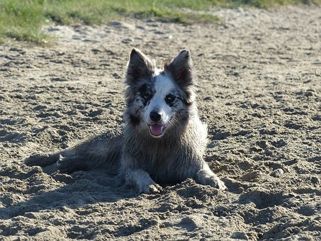 Dog, Dogs, Animal, Animals, Sand, Border Collie