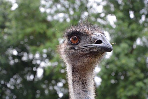 Emu, Head, Animal, Zoo, Wild, Emu Zoo, Nature, Birds
