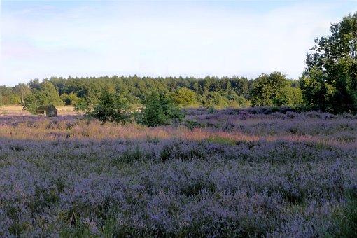 Heathland, Heather, Erica Ceae, Purple, Nature Reserve