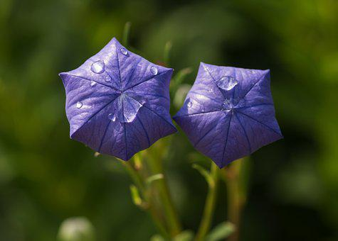 Flower, Platycodon, Mariesii