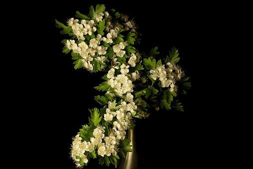 Hawthorn, Crataegus, Flower, White, Spring, Shrub