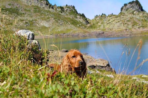 Dog, Cocker, Cocker Spaniel, Animals, Green Grass
