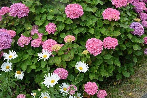 Hydrangea, Hedge, Pink Flowers, Daisies, Nature
