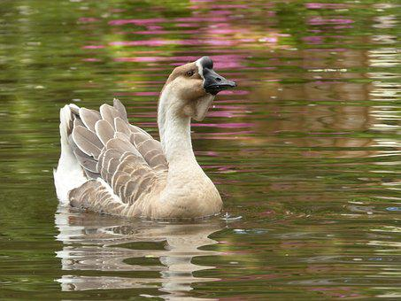 Animal, Goose, Höcker Goose, Domesticus Anser Anser
