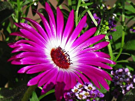 Flower, Lila, Daisy, Houseplant, Summer, Flourishing