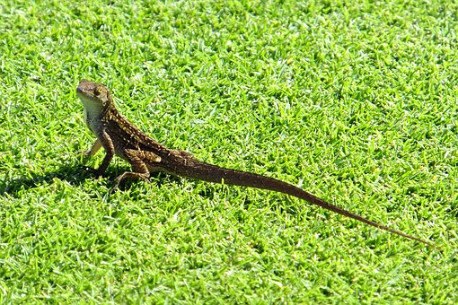 Gecko, Lizard, Exotic