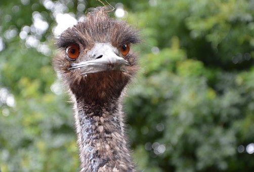 Emu, Grand, Bird, Zoo, Nature, Feathers
