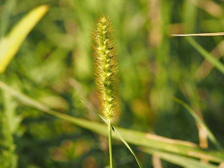 Grass, Wind, Grasses, Plant, Nature, Summer