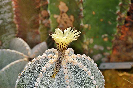Cactus, Spur, Blossom, Bloom, Bloom, Green, Prickly