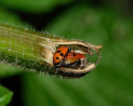 Beetles, Ladybug, Macro, Insects, Reproduction