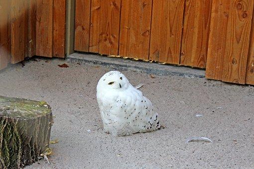 Snowy Owl, Bird, Owl, White, Yellow Eyes