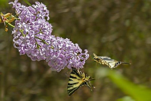 Lila, Syringa Vulgaris, Flamed, Butterfly, Shrub