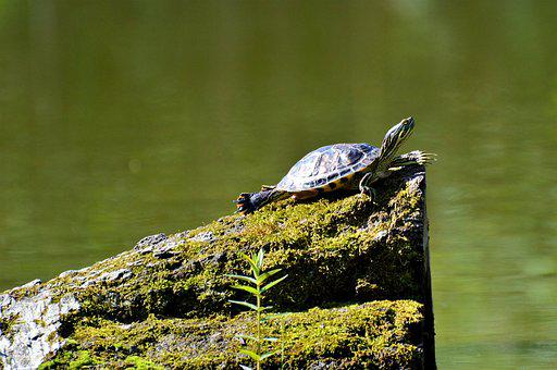 Turtle, Reptile, Water Turtle, Tortoise Shell