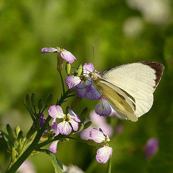 Animal, Insect, Butterfly, White, Pieris Brassicae