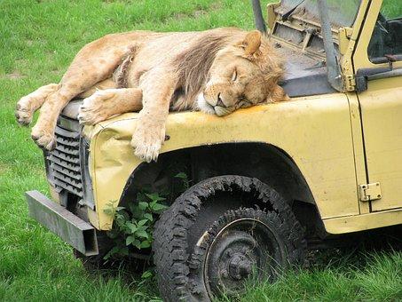 Lion, Safari, Animals, Wild, Lioness, Predator, Lions
