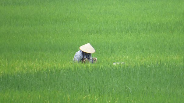 Paddy, Vietnam, Farmer's Wife, Hat, Asia, Mai Chau
