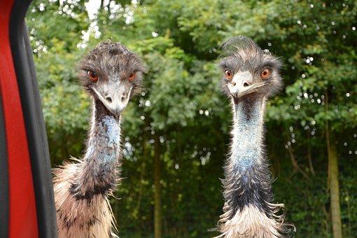 Emus, Emu, Big Bird, Zoo, Plumage, Nature, Feathers