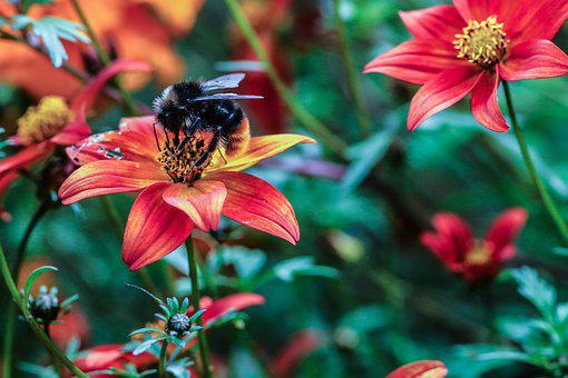 Flower, Bumble Bee, Insect, Garden Flower