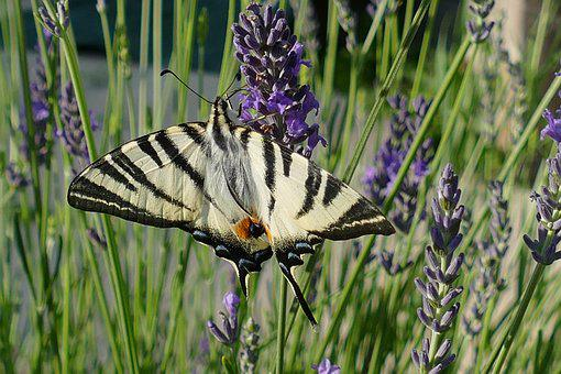 Butterfly, Bug, Macaon, Papilio Machaon, Animal