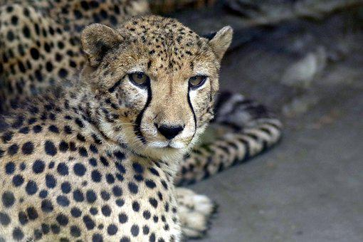 Cheetah, Cat, Animal, Predator, Feral Cat, Zoo, Nature