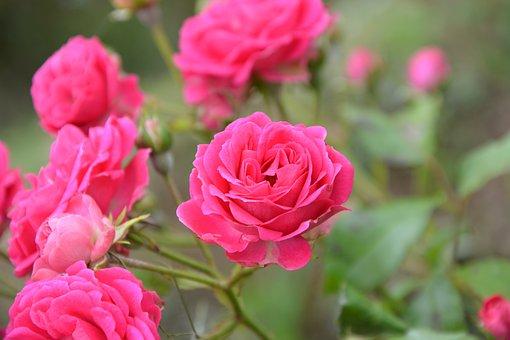 Climbing Rose, Pink, Spice, Nature, Garden, Rosebush
