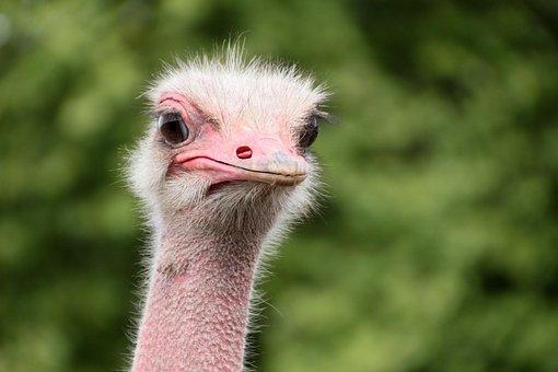 Bouquet, Animals, Ostrich, Wildlife Photography, Close