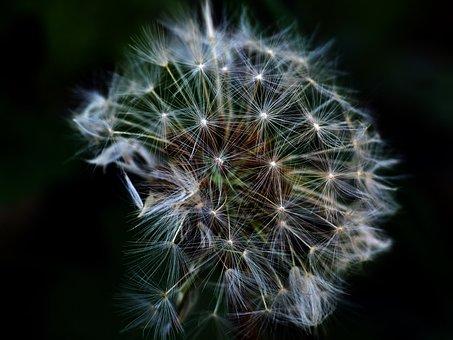 Dandelion, Flowers, Close, Common Dandelion, Macro