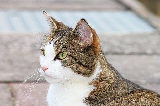 Domestic Cat, Cat, Pet, Adidas, Animal, Mieze