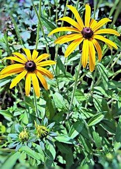 Plant, Coneflower, Echinacea, Flower, Shrub