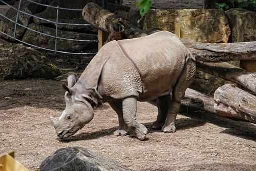 Zoo, Tiergarten Schönbrunn, Indian Rhinoceros