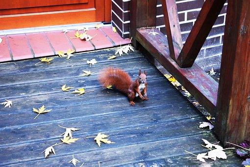 The Squirrel, Park, Ruda, Kita, Animal, Walnut, Tail