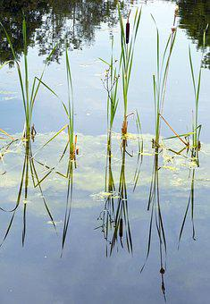 Cattail, Waters, Aquatic Plant, Marsh Plant, Typha