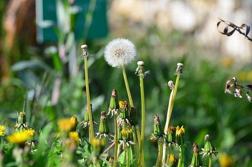Dandelion, Nature, Meadow, Close, Plant, Flower, Yellow