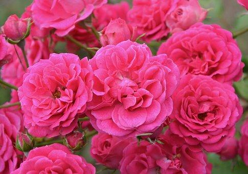 Rosebush, Roses, Flowered, Nature, Garden, Color Pink