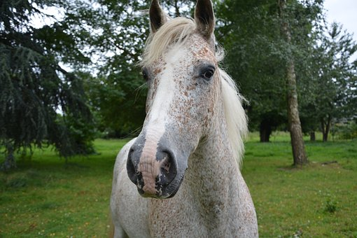 Horse, Head, Face, Equine, Animal, Neigh