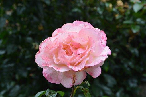 Pink, Rosebush, Pale Pink, Petals, Nature, Flower