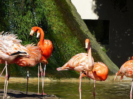 Flamingo, Pink, Pink Flamingo, Birds, Flamingos