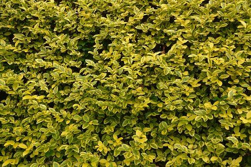 Privet Hedge, Leaves Privet, Foliage, Hedge, Nature