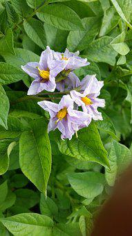 Flower, Potato, Blossom, Agriculture, Plant, Vegetable