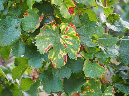 Leaf, Autumn, Vine, Wine, Vineyard, Leaves