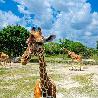 Zoo, Giraffe, Animal, Giraffe Head, Wild Animal