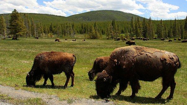 Usa, Buffalo, Yellowstone National Park, Wild Animal