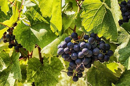 Grapes, Wine, Fruit, Vineyard, Winegrowing, Fruits