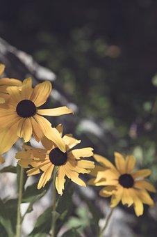Black Eyed Susan, Yellow, Garden, Plant, Rudbeckia