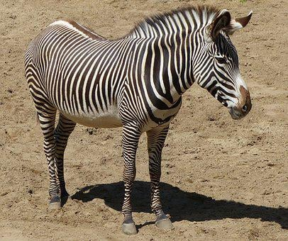 Zebra, Animals, Zoo, Animal, Zebrures, Fauna, Color