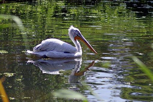 Pelikan, Bird, Amp Shipping, Water, Pond, Beak, Long