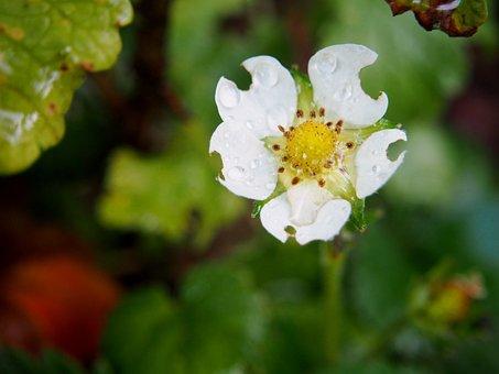 Strawberry Flower, Strawberry, Blossom, Bloom
